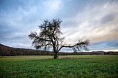Fruit tree near Birklingen, Iphofen, Kitzingen, Lower Franconia, Franconia, Bavaria, Germany, Europe