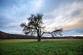 Obstbaum bei Birklingen, Iphofen, Kitzingen, Unterfranken, Franken, Bayern, Deutschland, Europa