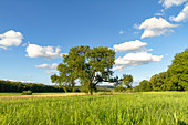 Old fruit tree near Birklingen, Iphofen, Kitzingen, Lower Franconia, Franconia, Bavaria, Germany, Europe