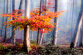 Tree with red leaves in the misty forest, Osterseem Bavaria, Germany
