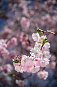 Cherry blossom, Obermarchtal monastery, municipality near Ehingen, Alb-Donau district, Baden-Württemberg, Danube, Germany