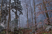 Hoarfrost in the morning in the mountain forest in November, Kochel am See, Upper Bavaria, Bavaria, Germany