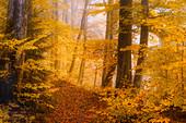 Golden October in the beech forest, Baierbrunn, Upper Bavaria, Bavaria, Germany, Europe