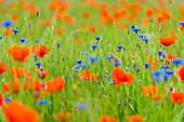 Getreidefeld mit Wiesenblumen, Bayern, Deutschland, Europa