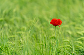 Poppy blossom in wheat field; Weilheim, Upper Bavaria, Bavaria, Germany