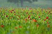 Blumenwiese im Frühling im Morgennebel, Weilheim, Bayern, Deutschland, Europa