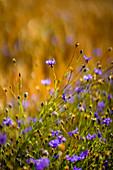 Sommerliche Blumenwiese, Bayern, Deutschland; Europa