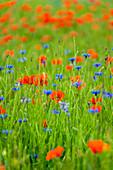 Organic grain field with summer flowers, Bavaria, Germany, Europe