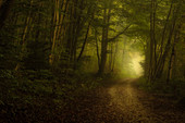 Morning mist in the beech forest, Bavaria, Germany, Europe
