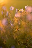 Wiesenstorchschnabel an einem sonnigen Sommerabend, Bayern, Deutschland, Europa