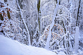 Fresh snow in the beech forest, Bavaria, Germany, Europe