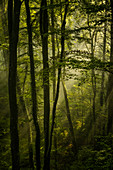 Spring morning in the beech forest, Bavaria, Germany, Europe