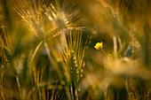 Buttercup in a grain field, Bavaria, Germany, Europe