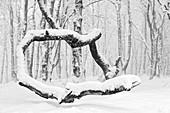 Winter forests below the Feldberg, Taunus, Hesse, Germany.