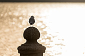 Seagull on a bollard of an old ferry pier, Garda, Lake Garda, Province of Verona, Italy