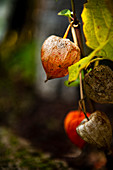 Withered physalis, Tuscany, Italy
