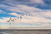 Wild geese in flight on the Baltic Sea, Süssau, Ostholstein, Schleswig-Holstein, Germany