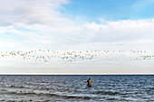 Flying wild geese over an angler in the Baltic Sea, Süssau, Ostholstein, Schleswig-Holstein, Germany
