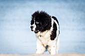 Young Newfoundland dog on the Baltic Sea beach, Baltic Sea, Heiligenhafen, dog, Ostholstein, Germany