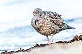 Portrait of a seagull on the Baltic Sea beach, Heiligenhafen, Baltic Sea, Ostholstein, Schleswig-Holstein, Germany