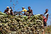 Sisal harvest, sisal agaves, Agave sisalana, Berenty Reserve, Southern Madagascar, Africa