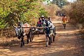 Zebra cart, Bemaraha, Western Madagascar, Africa