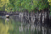 Gambia; at Bintang Bolong; Mangrove swamp; Mangrove roots with oysters; in the background oyster collector in a boat