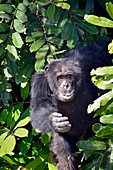 Gambia; Central River Region; Chimpanzee on the riverside; Chimpanzee Rehabilitation Center on the Gambia River near Kuntaur; Part of the Gambia River National Park