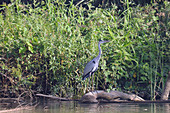 Gambia; Central River Region; Gambia River near Kuntaur; Gray heron near the bank on a tree trunk lying in the water