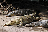 Gambia; Capital Region Banjul; Kachikally crocodile pool in Bakau; three female crocodiles in the sun