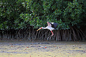 Gambia; Western Region; at Bintang Bolong; Stork landing on the bank;
