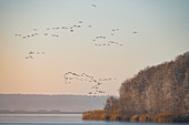 Komoran colony fly from their roosts over the frozen lake, Germany, Brandenburg