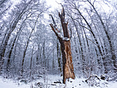 Old broken English oak between snow-covered beeches and alders, Germany, Brandenburg, Spreewald