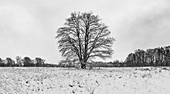 Old, single field tree on natural pasture in the snow, black and white, Germany, Brandenburg, Spreewald