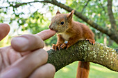 Rescued baby squirrel foundling suckling on hand, Germany, Brandenburg