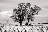 Winter ladnschaft field trees on arable landscape, negative development, Germany, Brandenburg