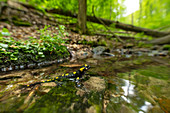 Portrait fire salamander in shallow brook, Germany, Thuringia
