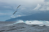 Birds soar over breaking waves in the Teahupoo surfing area, Tahiti Iti, Tahiti, Windward Islands, French Polynesia, South Pacific