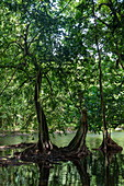 Banyan trees and mangroves along stream near the Vaipori Cave, Tahiti Iti, Tahiti, Windward Islands, French Polynesia, South Pacific