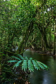 Large fern and mangrove along stream near the cave Vaipori Grotto, Tahiti Iti, Tahiti, Windward Islands, French Polynesia, South Pacific