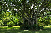 Giant banyan tree in garden, Tahiti, Windward Islands, French Polynesia, South Pacific