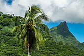 Coconut palm, lush vegetation and mountain, Moorea, Windward Islands, French Polynesia, South Pacific