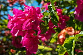 Purple flowers of a bougainvillea, Moorea, Windward Islands, French Polynesia, South Pacific