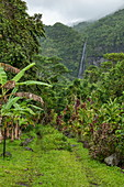 Lush vegetation along the way to Afareaitu Waterfall, Moorea, Windward Islands, French Polynesia, South Pacific