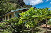 Papaya tree in the front yard of a house, Omoa, Fatu Hiva, Marquesas Islands, French Polynesia, South Pacific