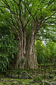 A huge banyan tree stands between stone tikis, sacred ritual sites (me'ae) and huge stone platforms (paepae) at the Kamuihai archaeological site in the Taipivai Valley, near Taipivai, Nuku Hiva, Marquesas Islands, French Polynesia, South Pacific