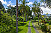 Aerial view of a coconut palm-lined path through garden, Vaiperetai, Tahiti, Windward Islands, French Polynesia, South Pacific