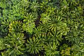 Luftaufnahme von Palmen nahe der archäologischen Stätte Meae Iipona, Puamau, Hiva Oa, Marquesas-Inseln, Französisch-Polynesien, Südpazifik