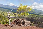 Birke (Betula pendula), Ätna, Monti Sartorius, Sizilien, Italien