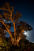 Full moon and stars behind majestic fig tree in the gardens of Six Senses Fiji Resort, Malolo Island, Mamanuca Group, Fiji Islands, South Pacific